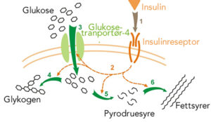 Insulinresistens – vår tids svøpe /